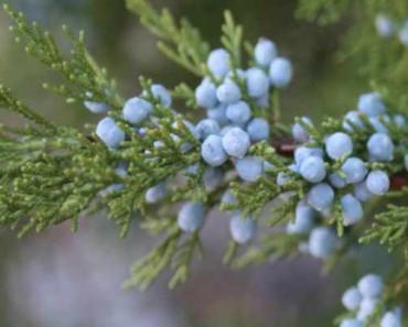 ягоды можжевельника лечебные свойства