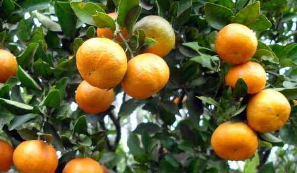 эфирное масло мандарина-применение