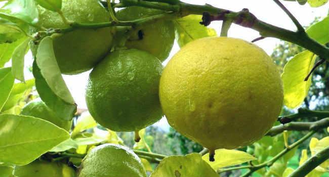 efirnoe-maslo-bergamota-sostav