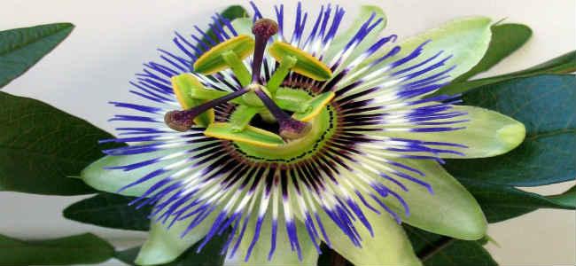 passiflora-sostav