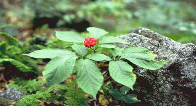 adaptogeny-rastitelnye-zhenshen