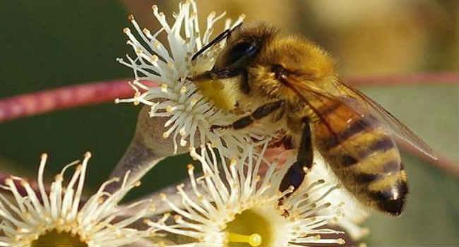 evkaliptovyj-med-protivopokazaniya