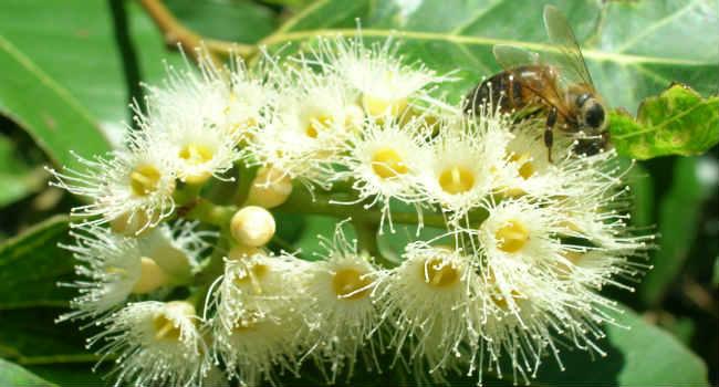 evkaliptovyj-med-svojstva