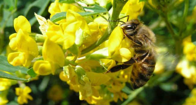 донниковый мед-состав-лечение