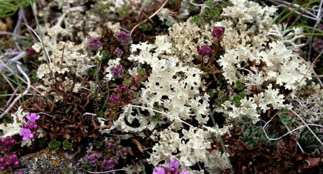 исландский мох-лечебные свойства-полезные