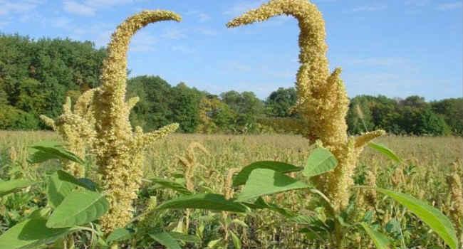 трава амарант-свойства-применение