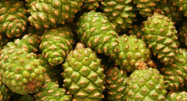 сосновые шишки-свойства-зеленые сосновые шишки