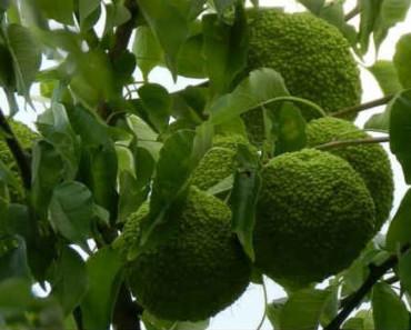 адамово яблоко-свойства-применение