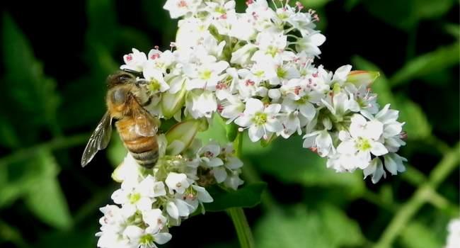 гречишный мед-свойства-чем полезен