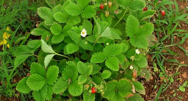 листья земляники-свойства и примепнение