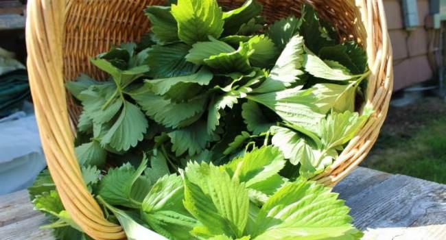 чай из листьев земляники-заготовка