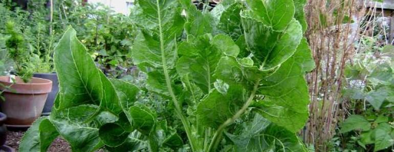 листья хрена-свойства-лечение