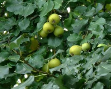 дикая груша лечебные свойства-применение