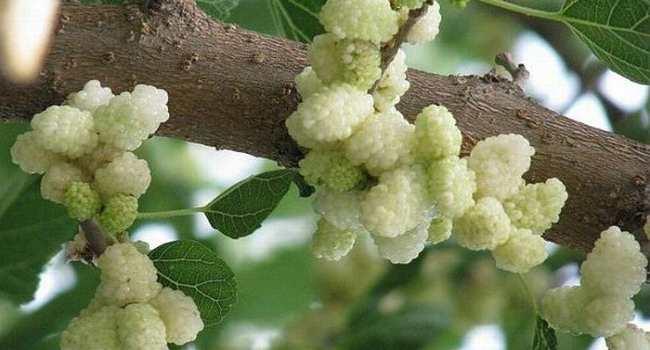 шелковица-белая шелковица