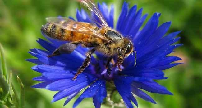 васильковый мед-свойства