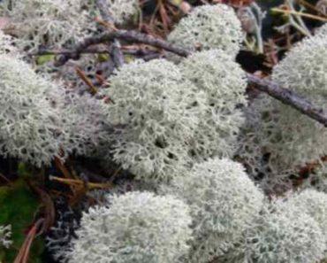 ягель-олений мох-лекарственные свойства