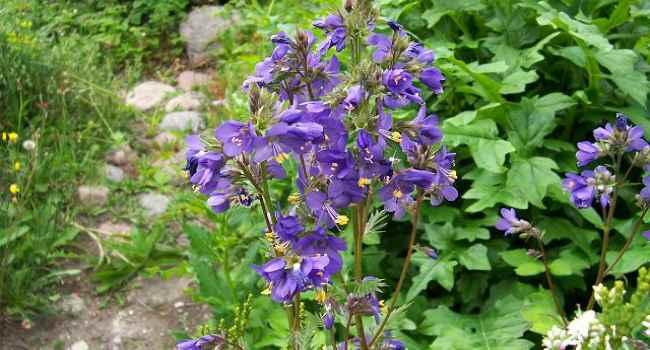 Синюха голубая лечебные свойства и противопоказания