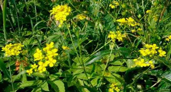желтушник-свойства-применение-противопоказания