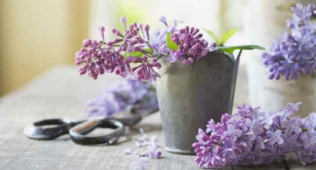Настойка цветков сирени от болезни суставов вальгусная деформация коленных суставов-фото