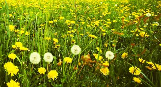 одуванчик-свойства травы