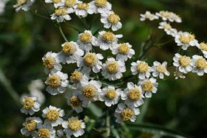 чихотная трава-лечебные свойства и противопоказания