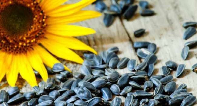 семечки подсолнуха-лечебные свойства и противопоказания