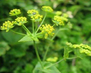 володушка-трава володушка лечебные свойства и противопоказания