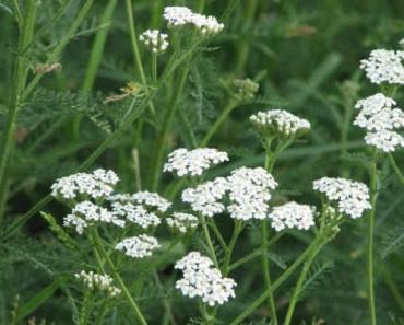 тысчелистник полезные свойства и противопоказания