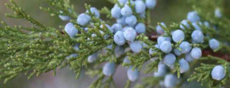 ягоды можжевельника- полезные и лечебные свойства