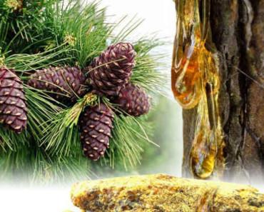 кедровая живица-лечебные свойства и противопоказания