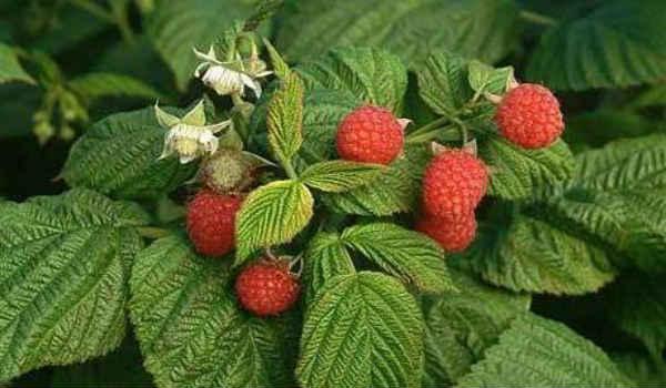 листья малины-лечебные свойства и противопоказания