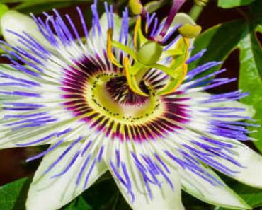 passiflora-svojstva