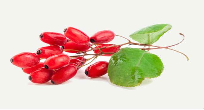 Барбарис лечебные свойства, применение и противопоказания