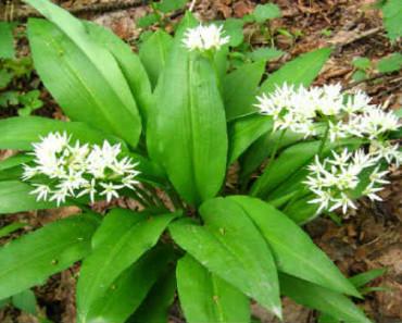 cheremsha-poleznye-svojstva-protivopokazaniya