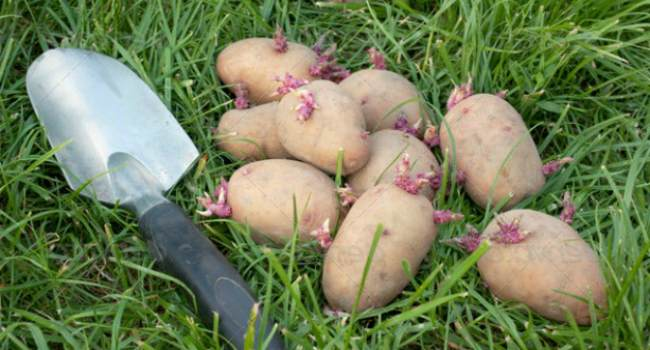 ростки картофеля-свойства-применение