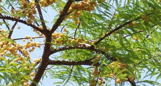 Сок крыжовника - амла Рецепт индийской кухни
