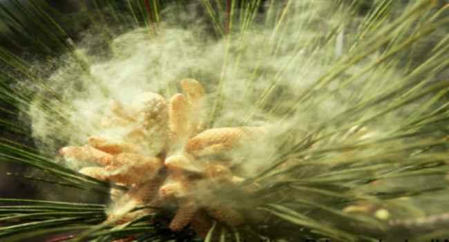 сосновая пыльца применение в народной медицине-лечение-рецепты-настойка