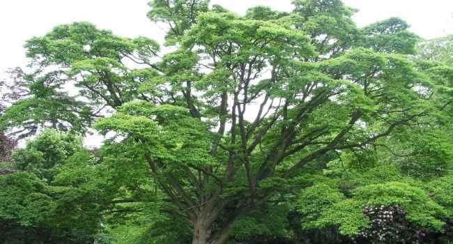 Ягоды бархатного дерева лечебные свойства отзывы врачей