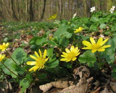 чистяк весенний-лечебные свойства и применение в народной медицине