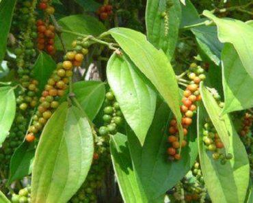 перец пиппали-полезные и лечебные свойства противопоказания