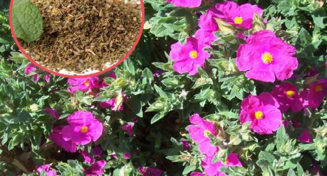 ладанник-растение лечебные свойства и противопоказания