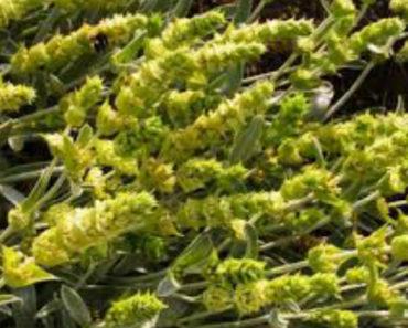 zheleznitsa-krymskaya-lechebnye-svojstva-i-protivopokazaniya