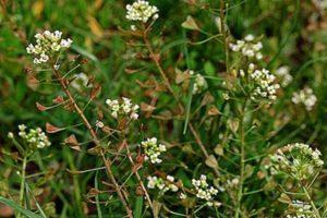 pastushya-sumka-lechebnye-svojstva-protivopokazaniya-primenenie